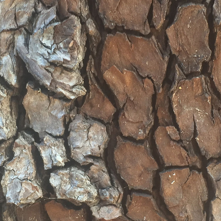 Bark Detail, China Camp State Park, San Rafael, California, US
