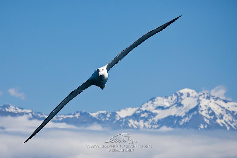 Wandering Albatross, New Zealand