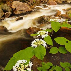 Hobblebush, Viburnum lantanoides, in Vermont's Green Mountains.