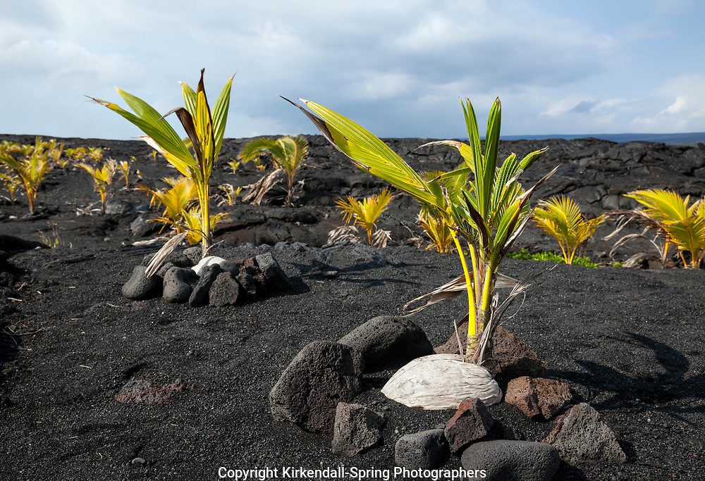 HI00355-00...HAWAI'I - Coconut trees planted in a lava field near Kaimu on the island of Hawai'i.