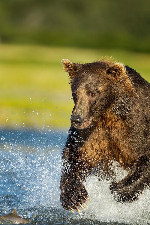 USA, Alaska, Katmai National Park, Coastal Brown Bears (Ursus arctos) runs to catch spawning salmon in stream along Kukak Bay in late summer