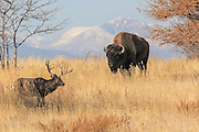 A large bull Bison (buffalo) and a large mule deer buck stand together in prairie habitat
