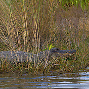 Alligator, alligator mississipiensis, resting on the banks of the swamp.<br />