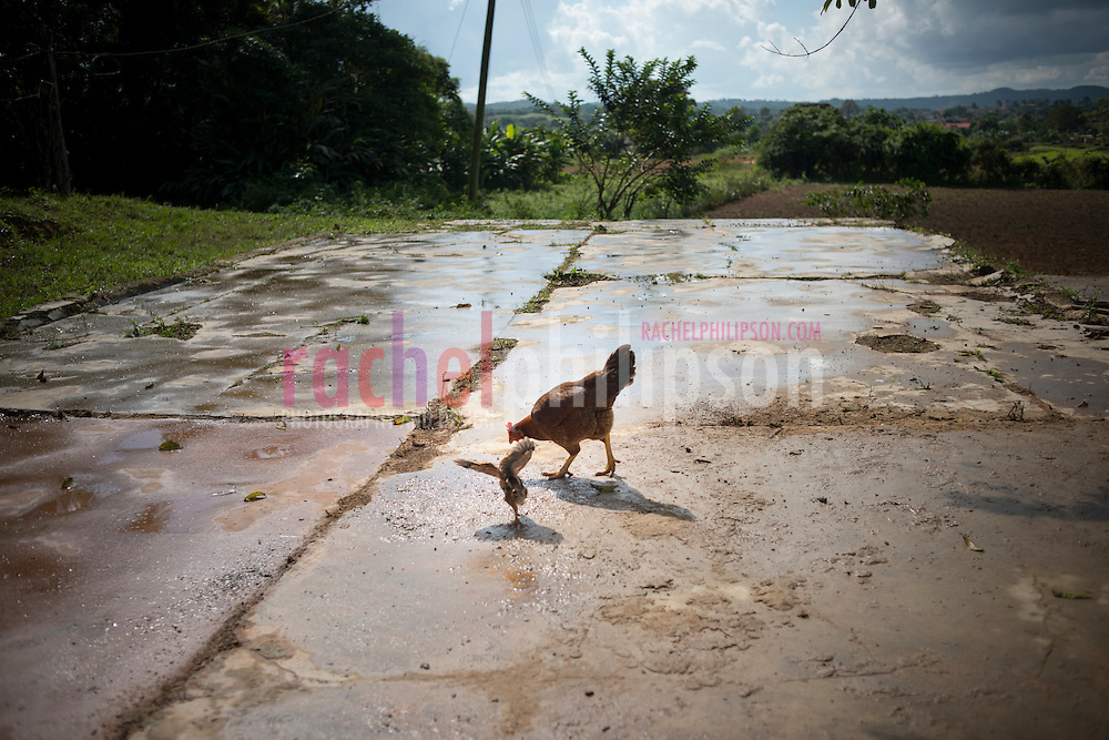 Cuba, Viñales, landscape, coffee farm, tobacco farm, young chicken, gallina, pollito, baby chicken