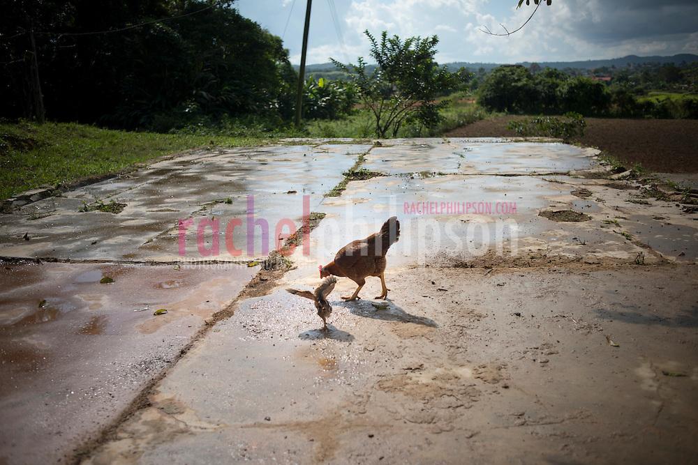Cuba, Viñales, landscape, coffee farm, tobacco farm, young chicken, gallina, pollito, baby chicken