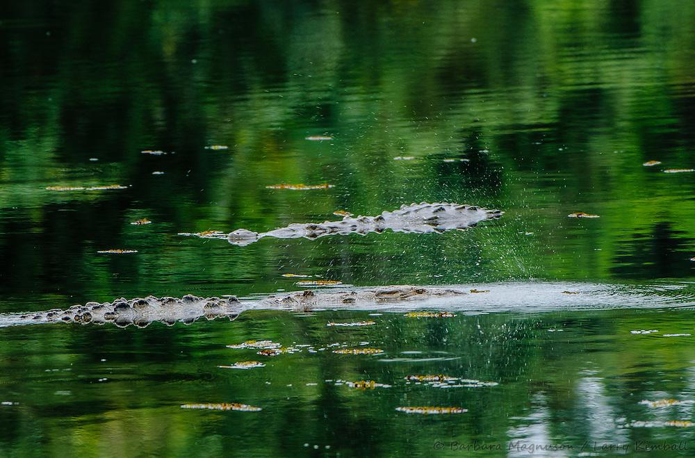 American Crocodiles [Crocodylus acutus] living in inland lake, territorial posturing; Soberania National Park, Panama