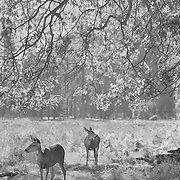 Grazing Deer Under Oak Tree - Yosemite Valley - Infrared Black & White
