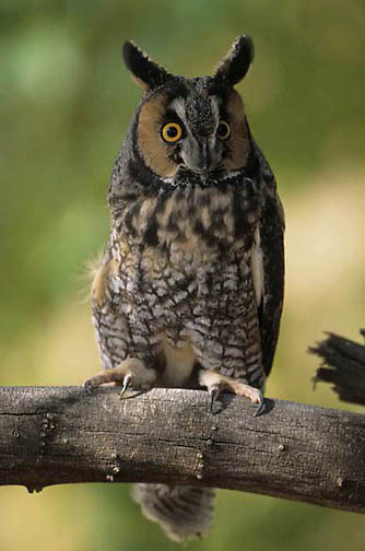 Long-eaered Owl (Asio otus) Coloradeo, Captive Animal