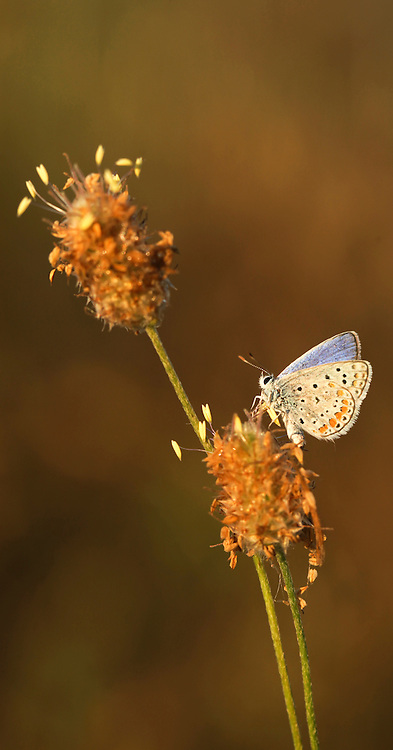 Peablue (Lampides boeticus), or Long-tailed Blue Butterfly shot in Israel, Spring May
