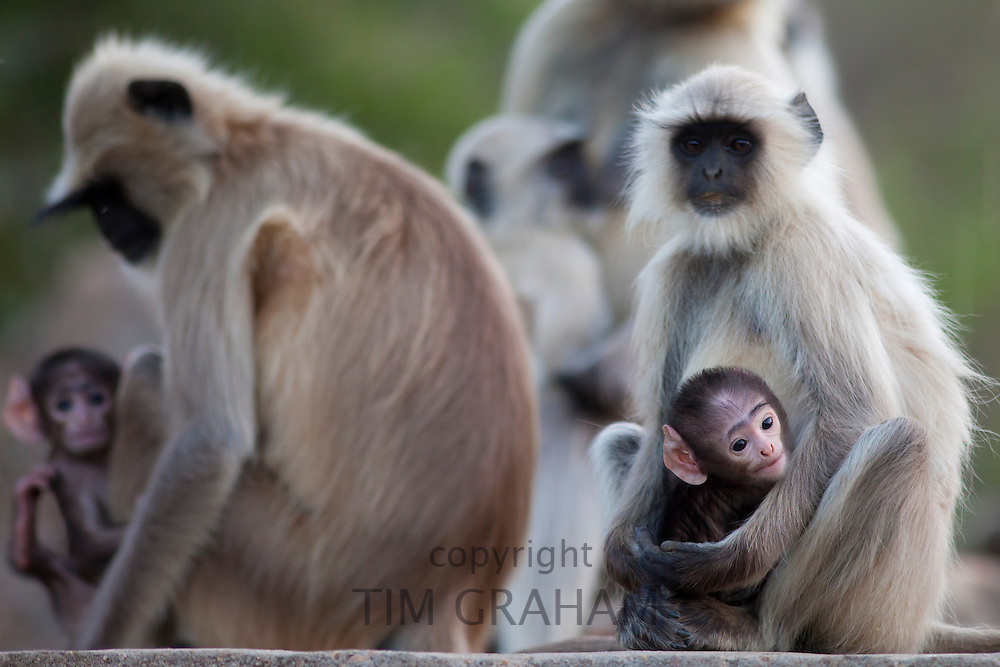 Indian Langur monkeys, Presbytis entellus, in Ranthambore National Park, Rajasthan, India