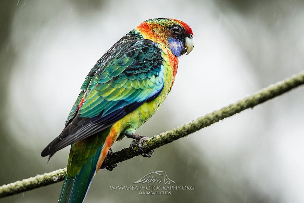 "Hybrid between a Crimson Rosella and a Australian Ringneck (""Twenty-eight parrot"")"
