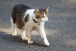© Licensed to London News Pictures. 09/06/2015. Westminster, UK.  Larry the cat outside Number 10 during a cabinet meeting in Downing Street on Tuesday, 9 June 2015. Photo credit: Tolga Akmen/LNP