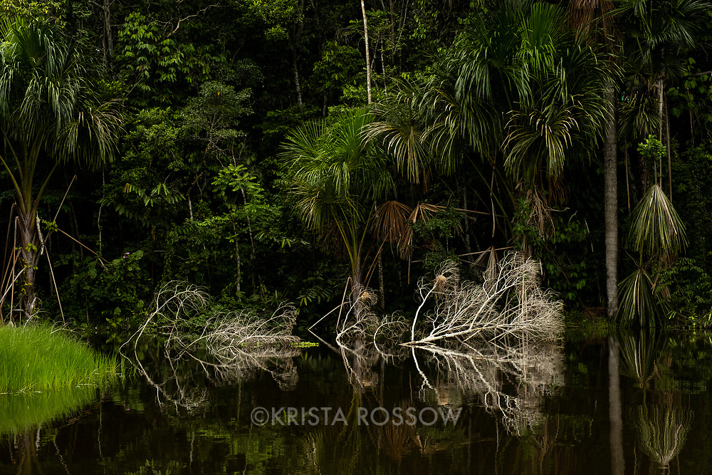 Reflection of palm trees and dead trees in a lagoon at the Amazon Natural Park near Nauta in the Peruvian Amazon.