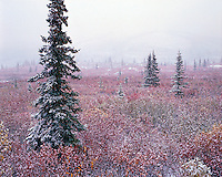 Early fall snowfall in boreal forest; Denali National Park Alaska