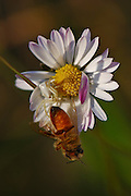 A camouflaged Crab Spider (Thomisus onustus) attacking a bee