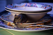 A house mouse (Mus musculus) foraging on a kitchen counter at night. Captive