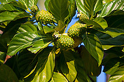 Noni plant, fruit and flower