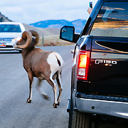 A male bighorn sheep walks between traffic on a dirt road in Wyoming.