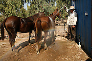 Yehuda Gilad 27 washing the horses after riding on them during the morning patrol watching the cattle of Moshav Yehonatan in the Golan height Israel. Tuesday October, 3, 2007