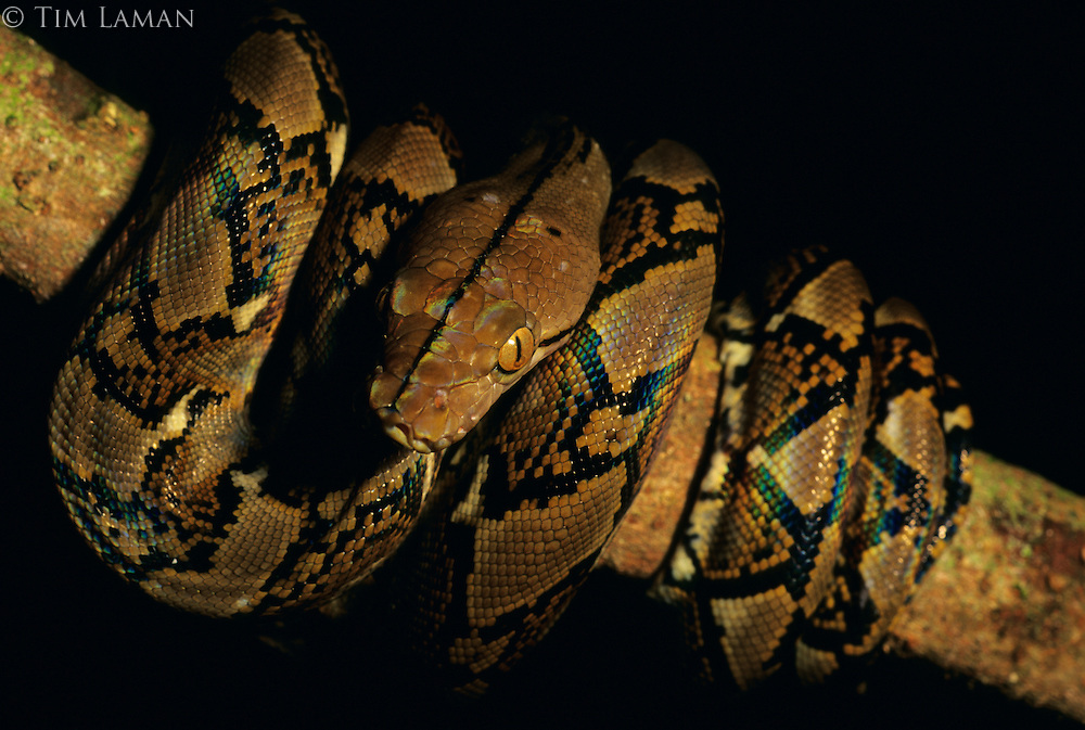A small Burmese Python coiled around a branch in the rain forest of Danum Valley Conservation Area in Borneo.