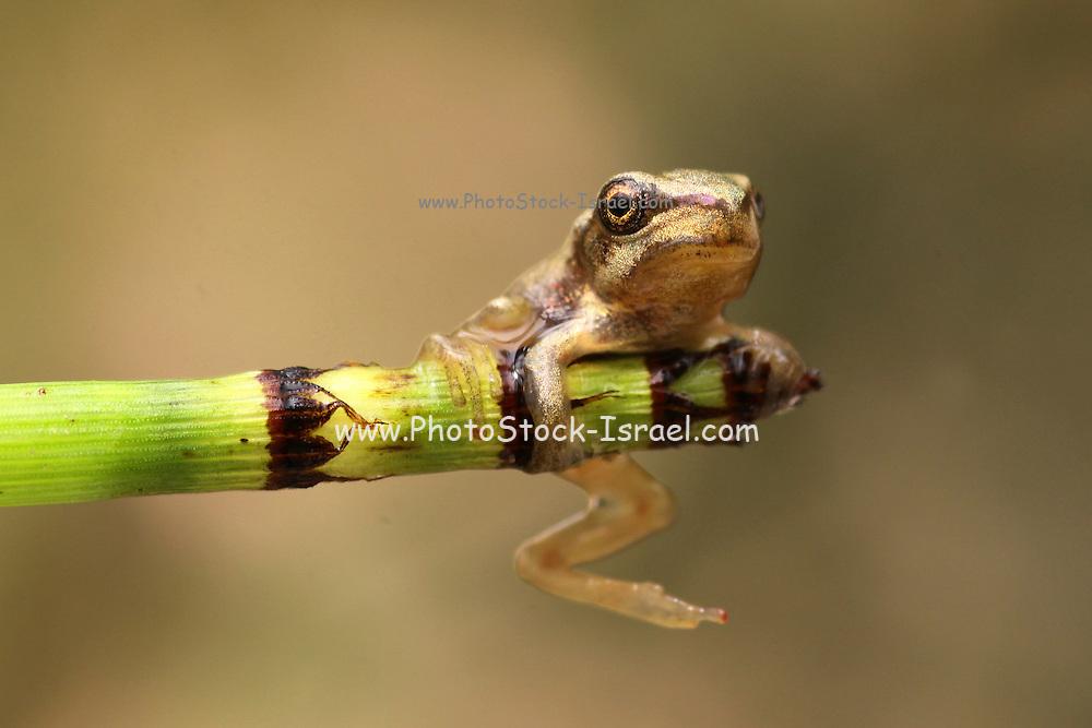 European tree frog, Hyla arborea, On a twig Israel