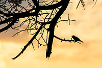 Marico flycatcher silhoutted against the sunset, Marataba Private Game Reserve, Limpopo, South Africa