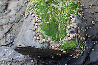 Common periwinkles with seaweed on rock, Ogunquit, Maine.