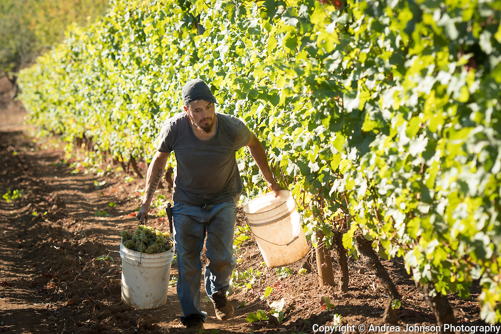 Riesling harvest at Brooks Estate vineyard, Eola-Amity Hills AVA, Willamette Valley, Oregon