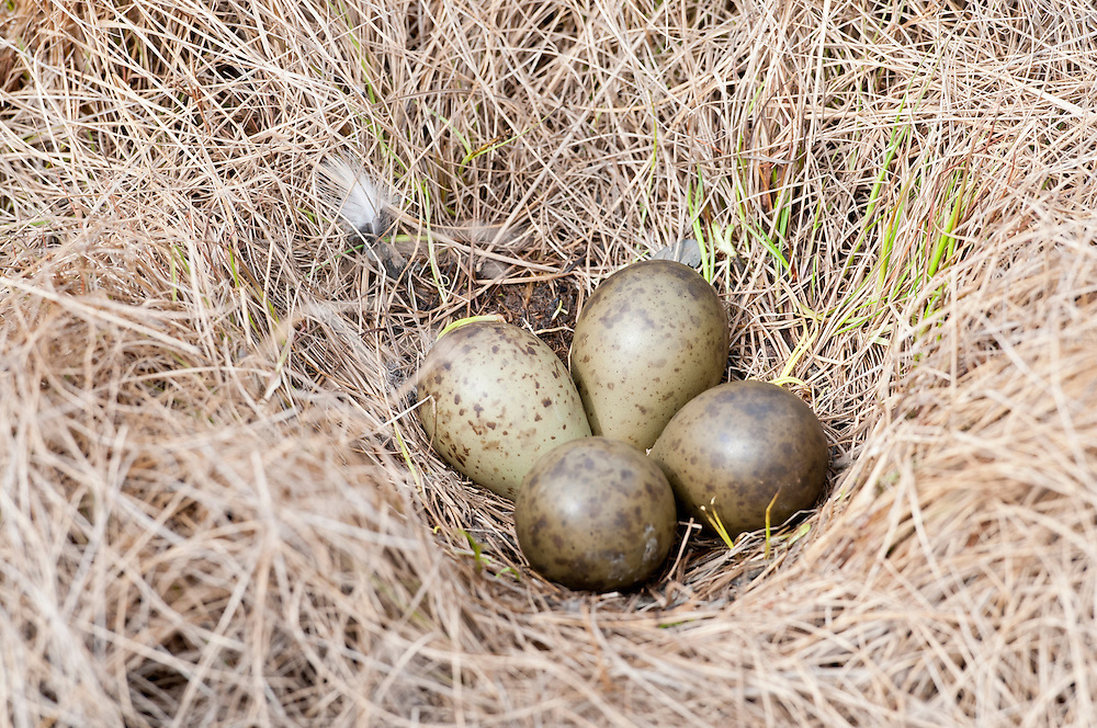 Bar-tailed Godwit, Limosa lapponica, eggs in nest, Yukon Delta NWR, Alaska