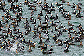 Scoters - Surf, Black, white-winged