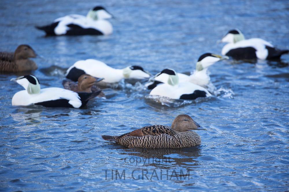Female - foreground - and male Eider ducks - Somateria mollissima - on lake at Slimbridge Wildfowl and Wetlands Centre, England, UK