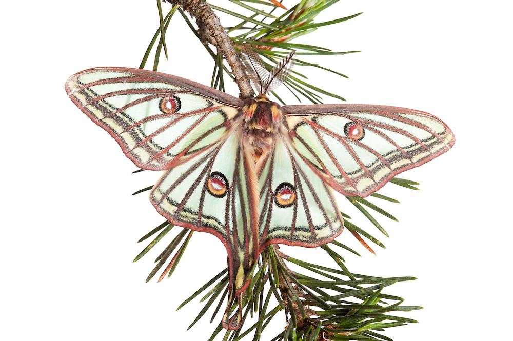 Male Isabelline moth, Spanish luna moth, Graellsia isabellina, Queyras, France, Europe
