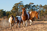 Chincoteague ponies (Equus caballus), also known as Assateague horses, walk through a marsh on Assateague Island in the Chincoteague National Wildlife Refuge in Virginia. Chincoteague ponies are small — typically 12-13 hands (about 4 feet tall) — their growth stunted by the limited food and harsh environment of Assateague Island. About 300 wild — technically feral — ponies roam the island on the Atlantic coast. There is some dispute as to how the ponies ended up on the island. Some researchers believe the ponies are survivors of the wreck of a Spanish galleon, La Galga, which sank just off the coast in 1750; the U.S. Fish and Wildlife Service believes they are descendants of horses owned by early colonial settlers.