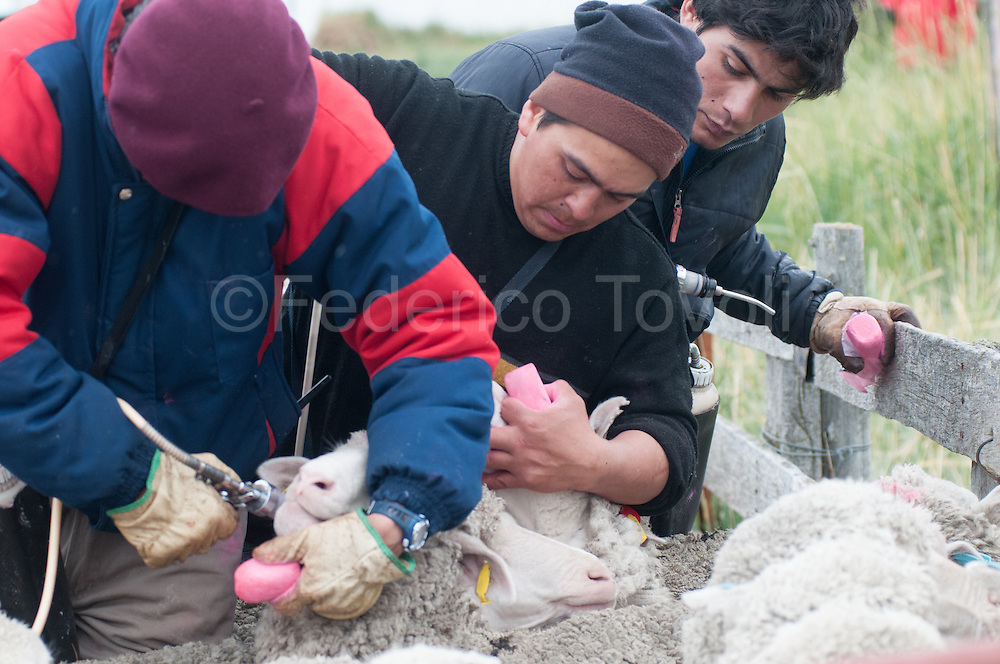 Vaccination of sheep to the estancia Monte Dinero, at the end of the ruta Cuarenta, behind the beach of Cabo Virgenes.