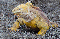 Galapagos Land Iguana, Conolophus subscristatus on Cerro Dragon on Santa Cruz Island in the Galapagos National Park and Marine Reserve, Ecuador.