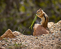 Chipmunk chewing on some grass. Rocky Mountain National Park. Image taken with a Nikon D2xs camera and 105 mm f/2.8 VR macro lens (ISO 100, 105 mm, f/2.8, 1/750 sec).