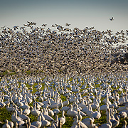 Migrating Snow Geese in flight.