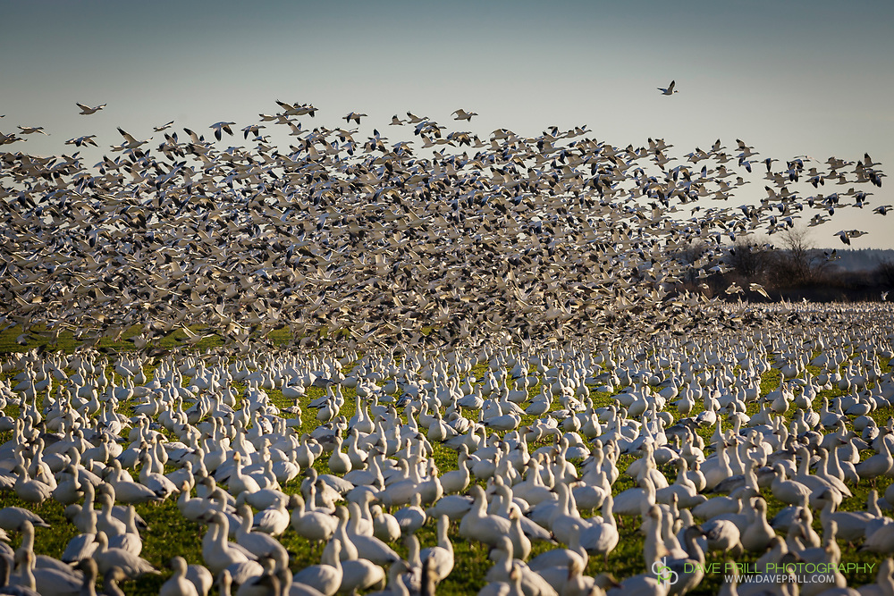 Migrating Snow Geese in flight.