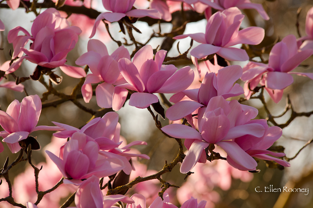 Magnolia campbellii in the Valley Gardens, Surrey, UK