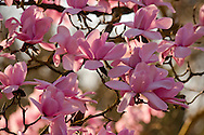 Magnolia campbellii in the Valley Gardens, Surrey, UK