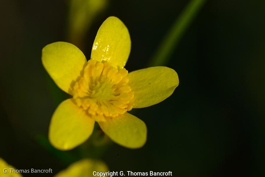 Yellow buttercups were blooming across the prairie.  This small flower is on a long steam and sways easily in a light breeze.