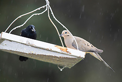 Red-winged Blackbird (Agelaius phoeniceus) shares the bird feeder with a Mourning Dove (Zenaida macroura) or turtle dove during a rain shower in the spring