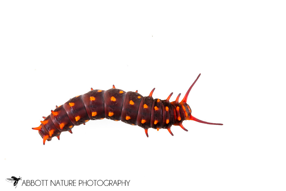 Pipevine Swallowtail (Battus philenor) caterpillar<br /> TEXAS: Travis Co.<br /> Austin<br /> 17-July-2015<br /> J.C. Abbott  K.K. Abbott