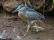 Black Crowned Night Heron / Nycticorax nycticorax. Allerton Garden, on the south shore of Kauai, Hawaii, USA. Address: 4425 Lawai Rd, Koloa, HI 96756. Nestled in a valley transected by the Lawai Stream ending in Lawai Bay, Allerton Garden is one of five gardens of the non-profit National Tropical Botanical Garden (ntbg.org).