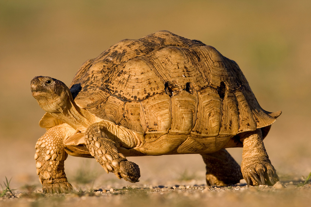 South Africa, Kgalagadi Transfrontier Park, Leopard Tortoise (Geochelone pardalis) walking in Kalahari Desert at sunset
