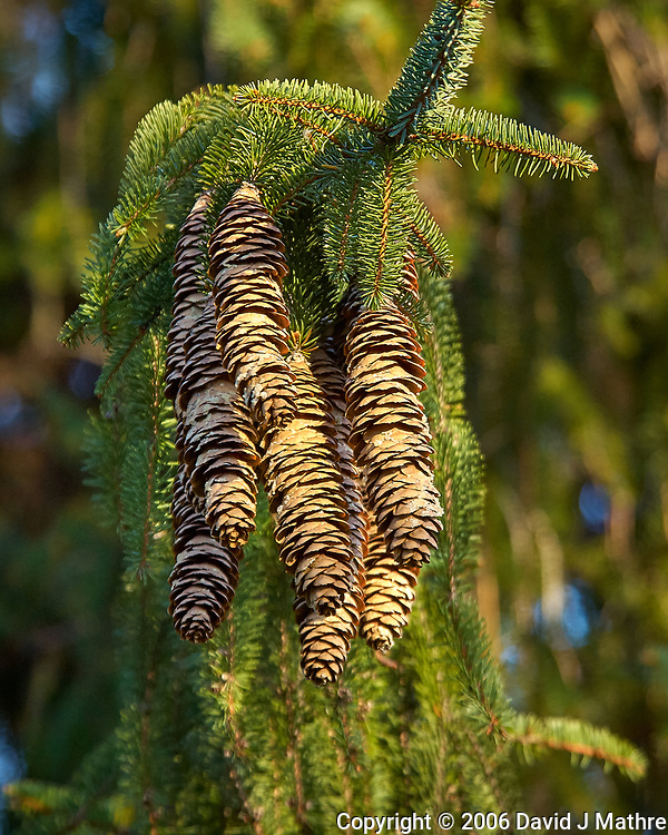 Pine cones in the afternoon sun. Backyard autumn nature in New Jersey. Image taken with a Nikon D2xs camera and 80-400 mm VR lens (ISO 400, 250 mm, f/5.6, 1/125 sec).