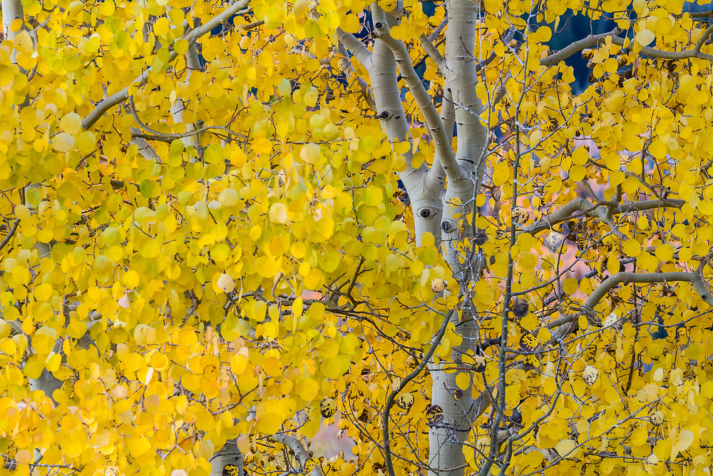 Bright yellow aspens leaves glow on a cold Fall morning in Utah.