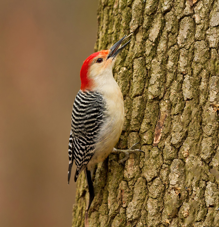 Male Red-bellied Woodpecker (Melanerpes carolinus) extending its tongue, Cheesequake State Park, New Jersey