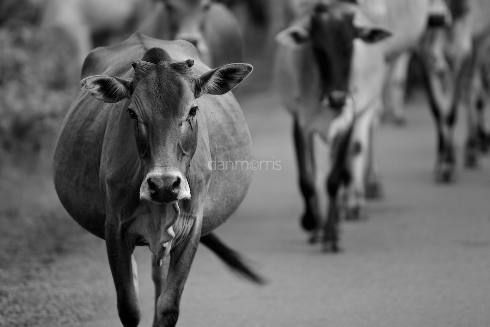 Cows walking on road in Southern Cambodia