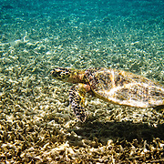 A green turtle comes into the shallows over coral at Lady Elliot Island
